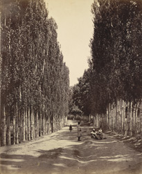 Poplar avenue at Islamabad